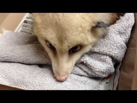 """James Askew presents """"Educational possum recheck with tail base lesion."""""""