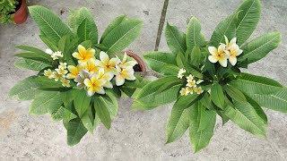 पौधे से ज़्यादा फ़ूल पाने का आसान तरीका