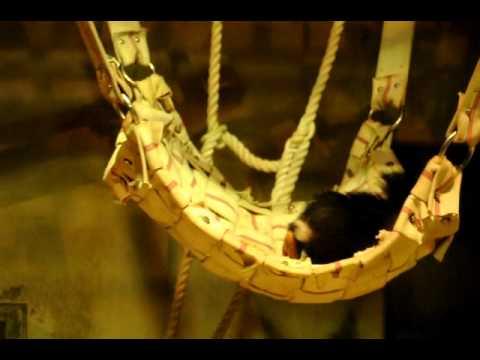 ハンモックで楽しそうに遊ぶチンパンジーのハロー♂(いしかわ動物園)