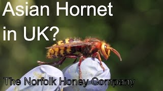 Beekeeping Basics  Asian Hornet in the UK  Confirm