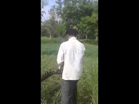 Python snake caught by Mohammed Qasim Zoo Out Sourcing employee at Fodder plot In Nehru Zoo park hyd