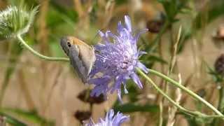 A Meadow Brown Butterfly on Field Scabious
