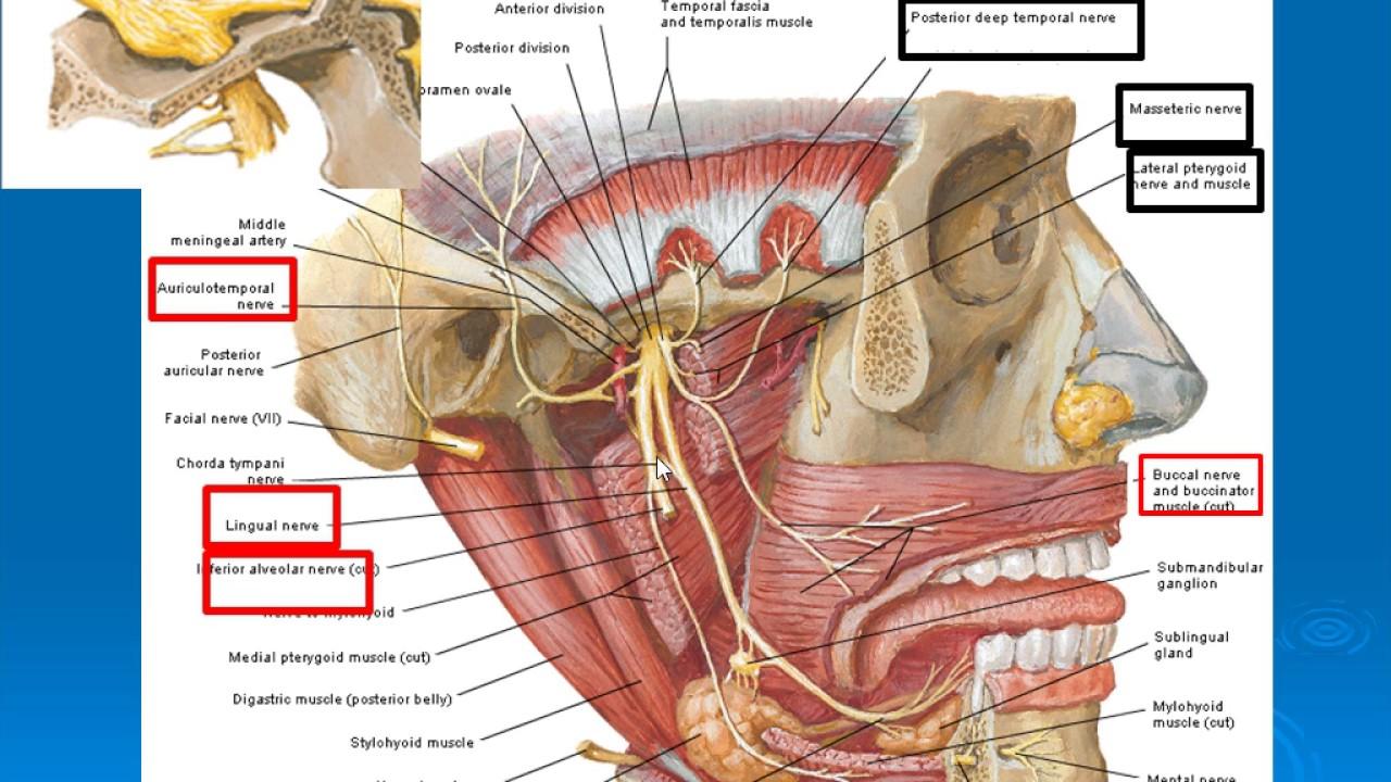 Anatomy facial nerve