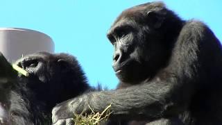 シャバーニ家族 192 Shabani family gorilla