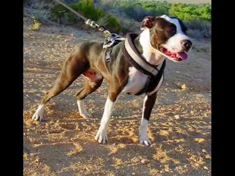 The Great American Pit Bull Terrier Video