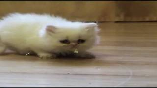 Kittens at Lunch 2 - Kitten vs. Mouse :)
