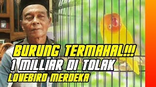 Download video BURUNG TERMAHAL : PENAWARAN 1 MILIAR TAK MEMBUAT LOVEBIRD MERDEKA DI JUAL
