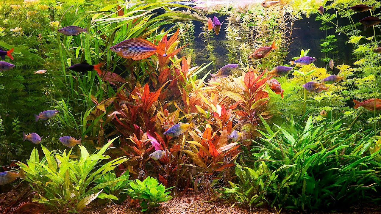 How to remove red algae from fish tank aquarium care for Fish tank care