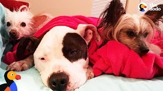 Pit Bull Loves His New Brother And Sister So Much - TYSON, PUNKY & NACHO   The Dodo