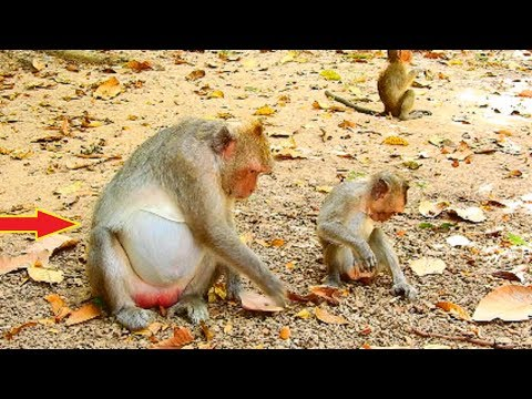 Poor Little Bold Head Baby Monkey Will Get His New Sibling Soon!