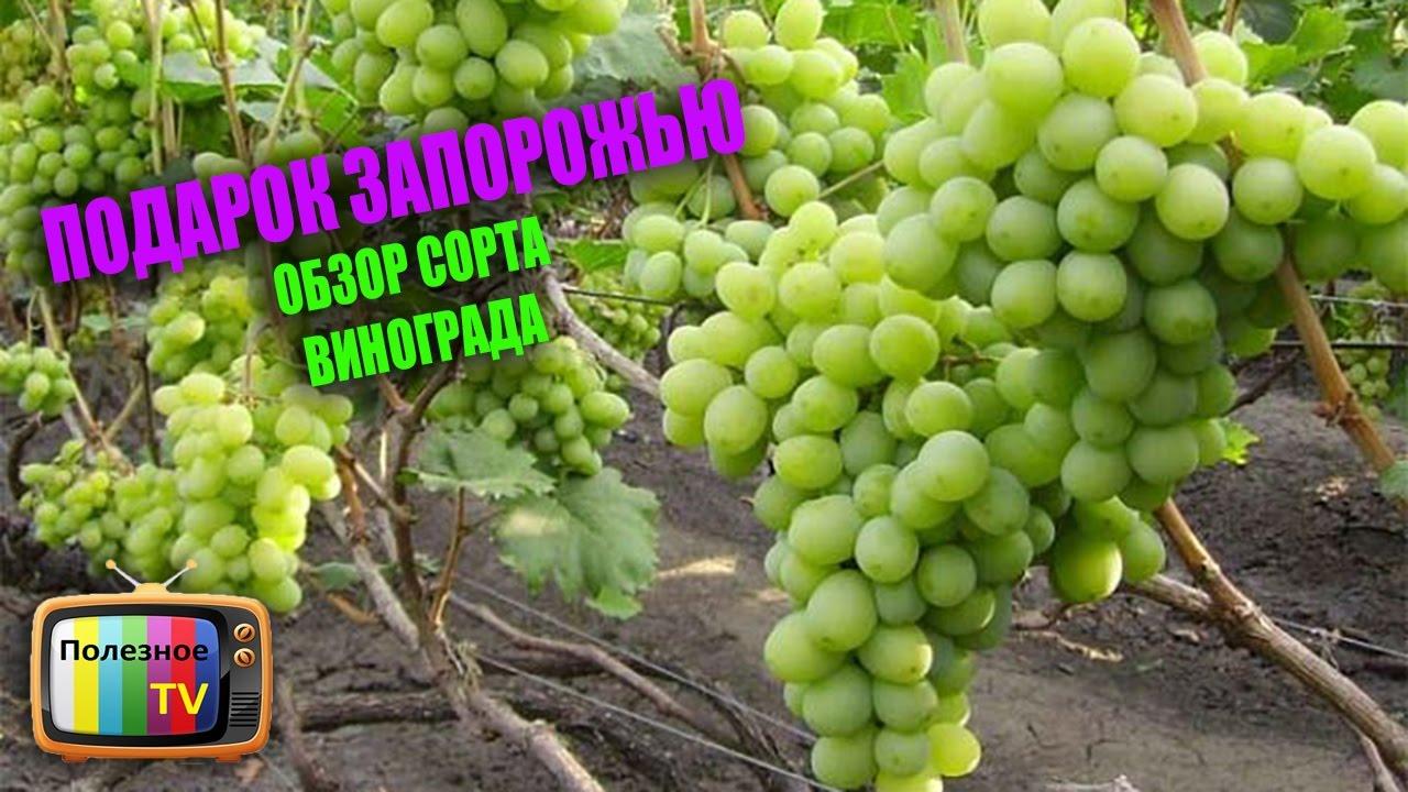 Сорта винограда фото и описание подарок запорожья 588