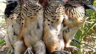 Bẫy chim cút hay nhất 2