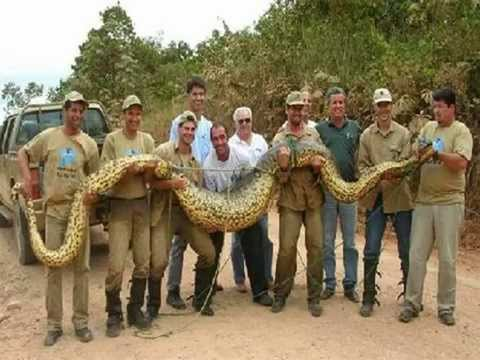 COBRAS - ANACONDAS : GIGANTES, MORTÍFERAS E  ESFOMEADAS--  Anaconda: GIANTS, deadly and hungry