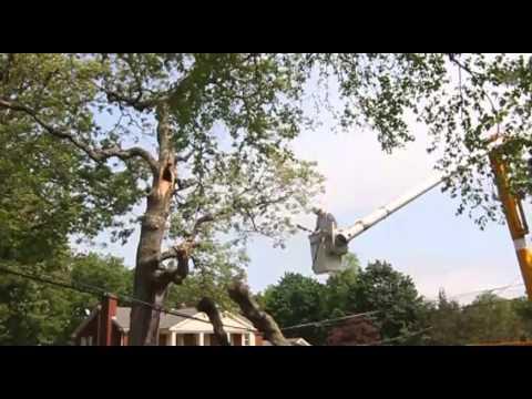 Pow-Wow Oak tree broke off