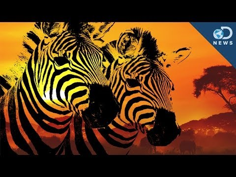 How Stripes Make Zebras Invisible To Bugs!