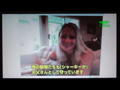 Pit Bull Sharky on NHK Japan TV Tokudane-Toko-Doga