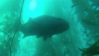 Freediving with Giant Black Seabass at Catalina Island