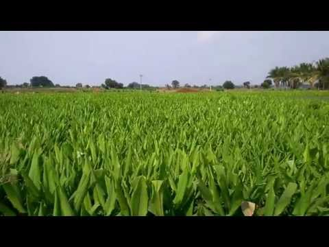 Turmeric cultivation in india