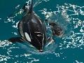 Orca Gives Birth at SeaWorld San Antonio