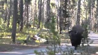 Hikers encounter a bison!   MSN Video