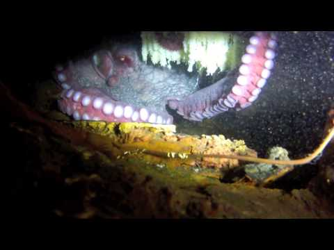 The Octopus Mother - Octo with Eggs GoPro Scuba