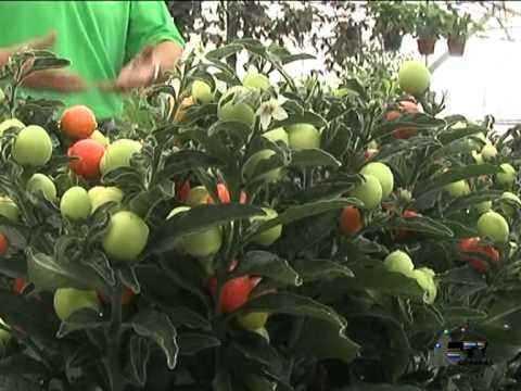 El Jardinero En Casa Solanum Capsicum Youtube