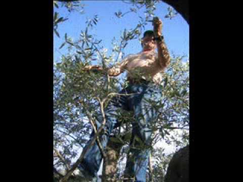 Sa Santa - olive harvest 2009