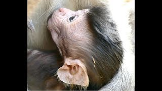 Update Monkey Duchess Condition now is Good  Baby Duke is Very Cute &  Healthy  Adorable Little Baby