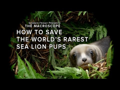 How to Save the World's Rarest Sea Lion Pups on YouTube