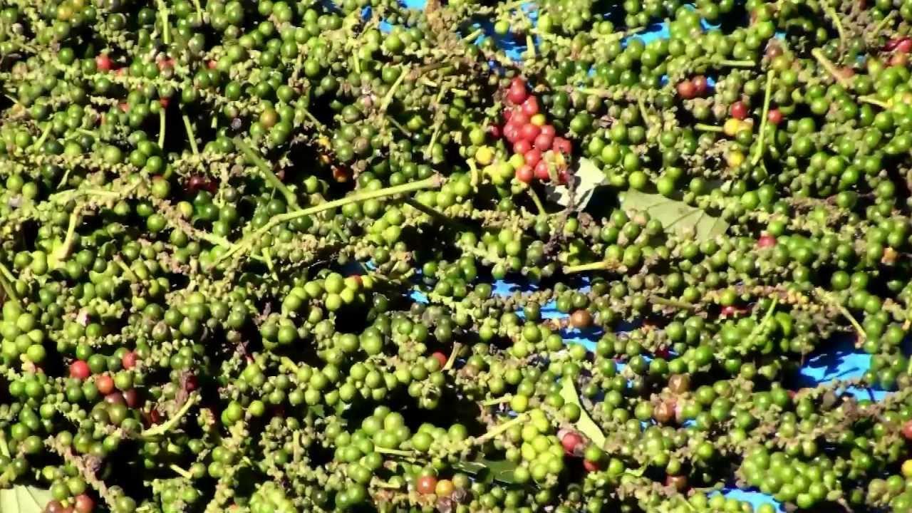 Black Pepper Seed Black Pepper Plants