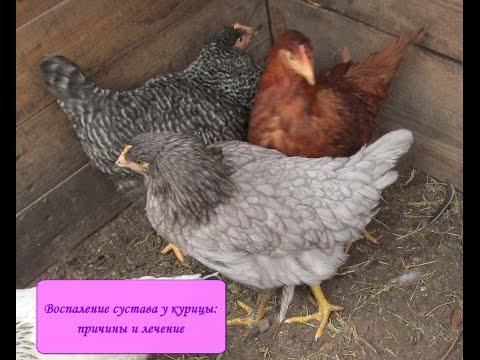 У курицы воспалился сустав