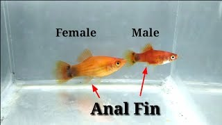 How To Identify Male And Female Platy Fish