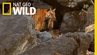 Tiger Cub Escape | Secret Life of Tigers