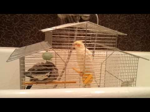 Попугай Корелла принимает душ (Corella parrot takes a shower)