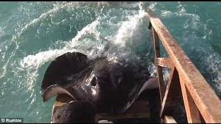 Stingray jumps onto ramp for food ✔