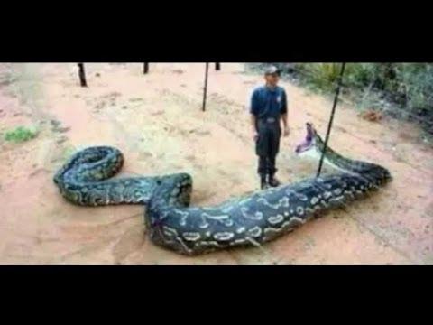 Biggest Snakes in the World! SnakeBytesTV