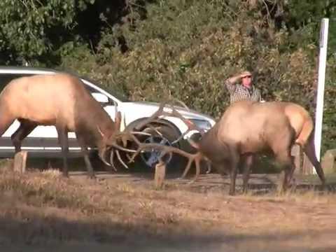 Elk Rut in Estes Park, CRAZY & WILD