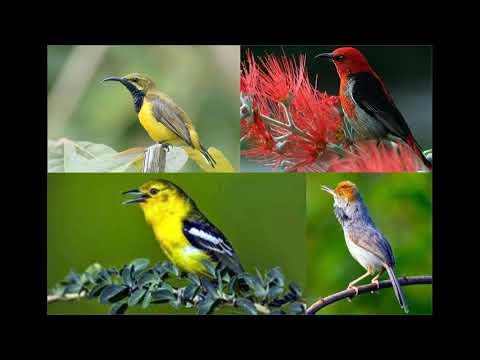 Mp3 Pikat semua burung kecil(suara kutilang ribut)
