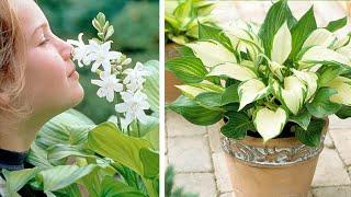How to Plant Hosta: Spring/Summer Guide