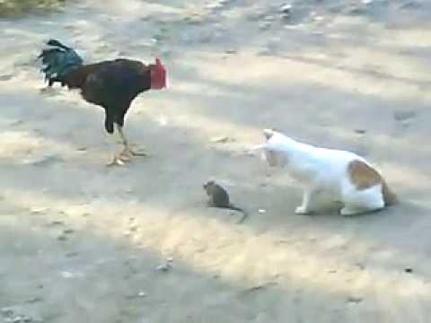 101 Gambar Gambar Kucing Dan Ayam Paling Keren