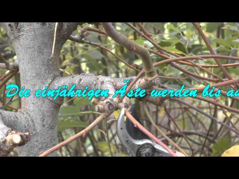 Kugelbäume Schneiden. Cut Ball Trees.