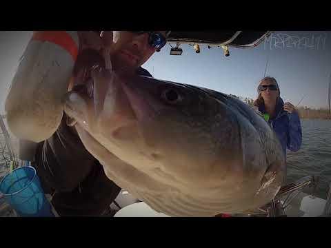 Striper fishing videos for Lake hartwell striper fishing report