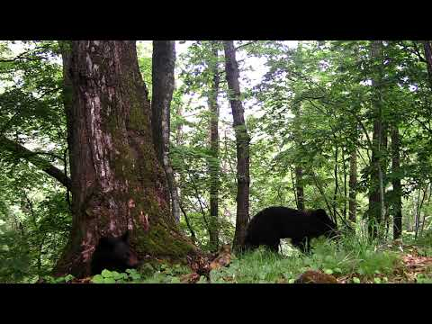 Упавший с дерева медведь удивил ученых «Земли леопарда»