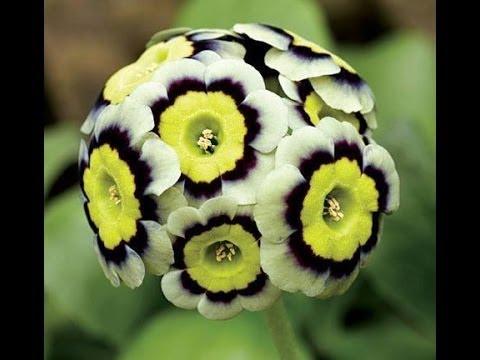 what's flower kamal