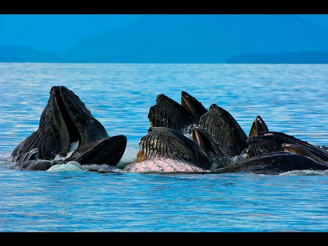 [14 HUGE HUMPBACK WHALES POP OUT OF WATER TOGETHER IN STUNNIN...] Video