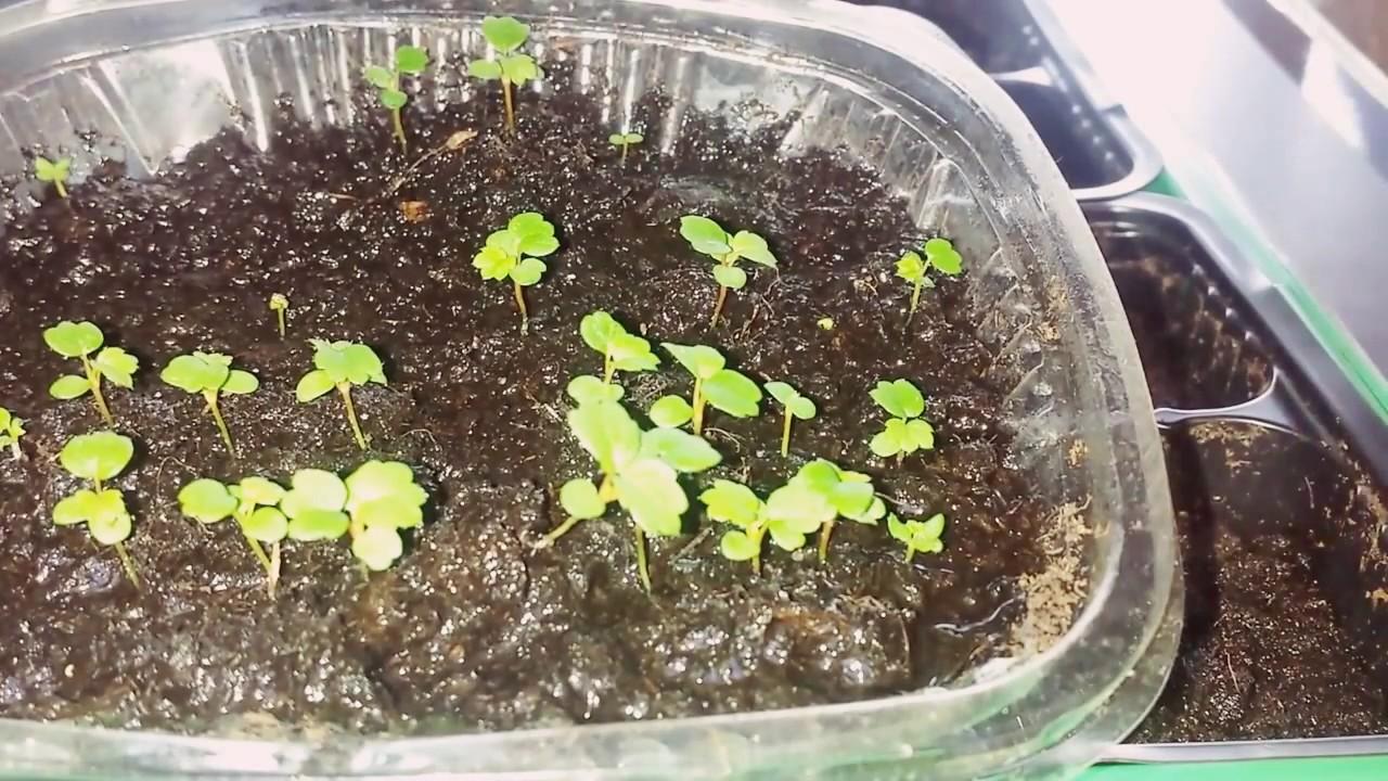 Выращивание земляники из семян отзывы 86