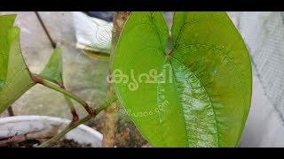 ടെറസിലെ കാച്ചില് കൃഷി വള്ളി വീശിതുടങ്ങിയിരിക്കുന്നു - greater yam growing at terrace garden