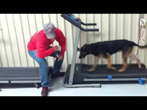 0 Dog practicing retrieve on moving treadmill