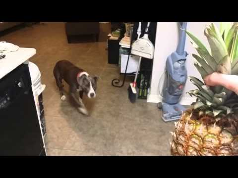 Pit Bull scared of PINEAPPLE