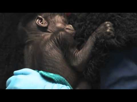 Orphaned Baby Gorilla ready for public